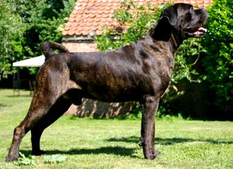 Cane Corso Wikipedia Cane Corso Different Dogs Cane Corso
