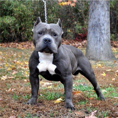 I Love Blue Pocket Bullies Pitbull Terrier Bully Dog