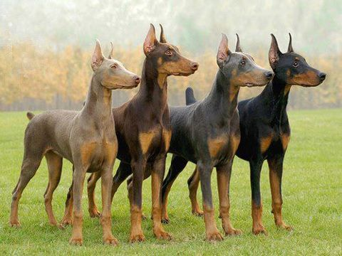 The 5 Doberman Colors And The One To Avoid Doberman Pinscher
