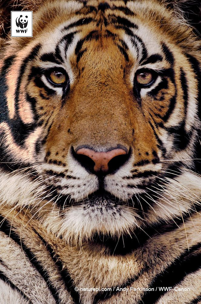 Double tigers now ! Digital campaign, Wwf animals