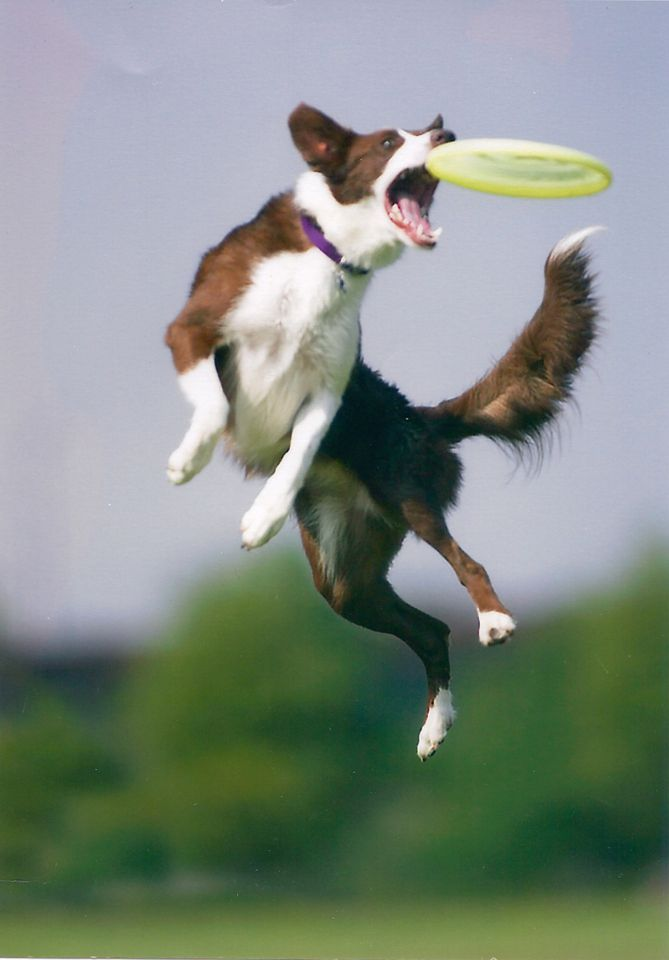 a36a6723a58207ddadc3beba68d30fa1 the dog blog dog, dog agility and collie