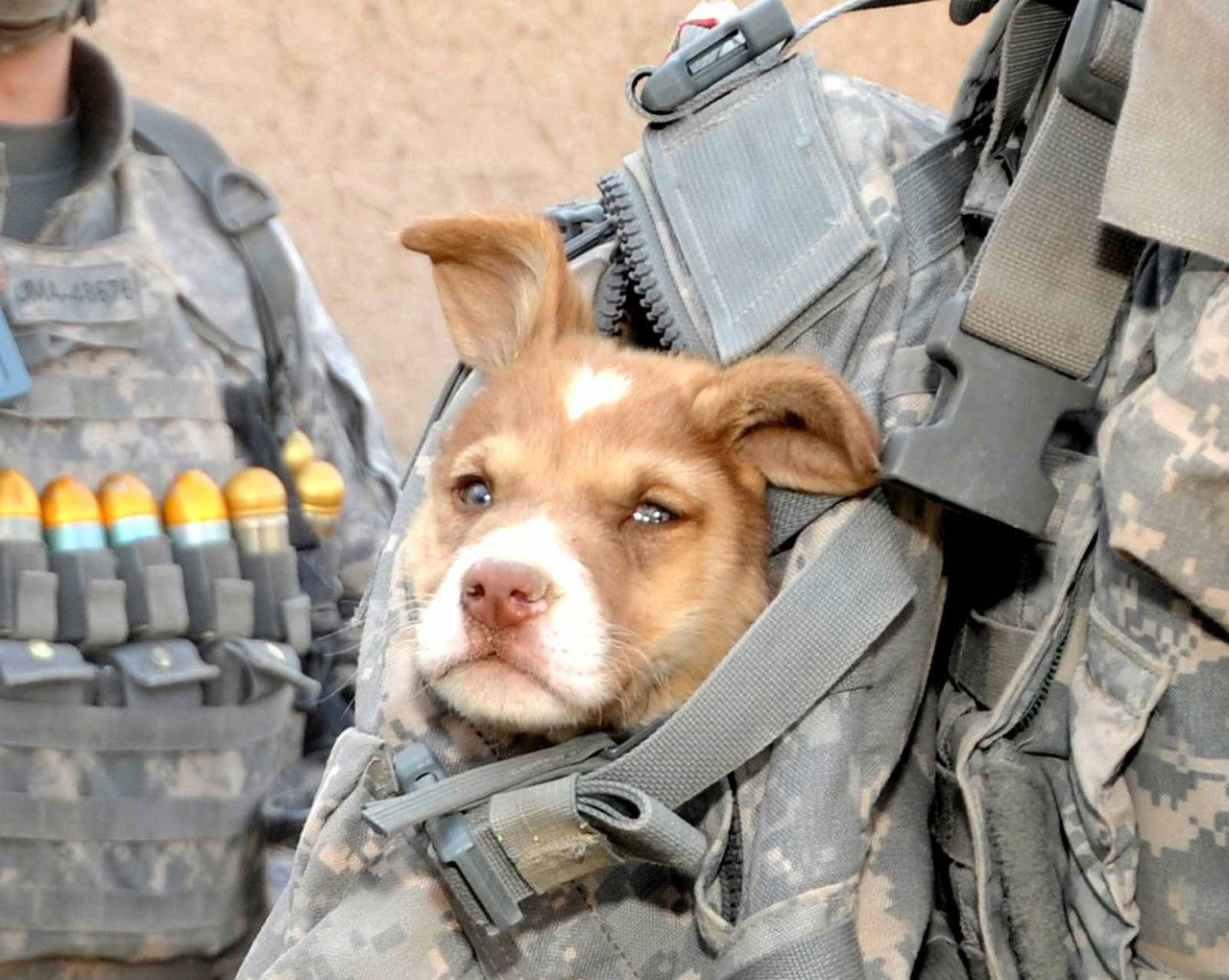A dog rides in a U.S. soldier's backpack at Combat Outpost