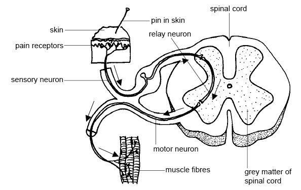 Anatomy and Physiology of animals Relation btween sensory ...