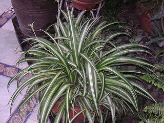 Les meilleures plantes d'intérieur: Chlorophytum comosum (Plante araignée) La plante araignée ou Chlorophytum comosum est une plante qui reste en vogue parce qu'elle est très facile à entretenir et multiplier. Qui n'a jamais pris des plantules à partir d'une plante mère pour les faire prendre racine dans l'eau?