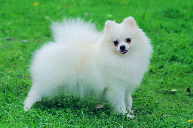 pictures of pomeranians | Pomeranian Pictures Photos Pics | King ...