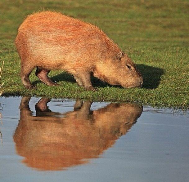Capybara grazing