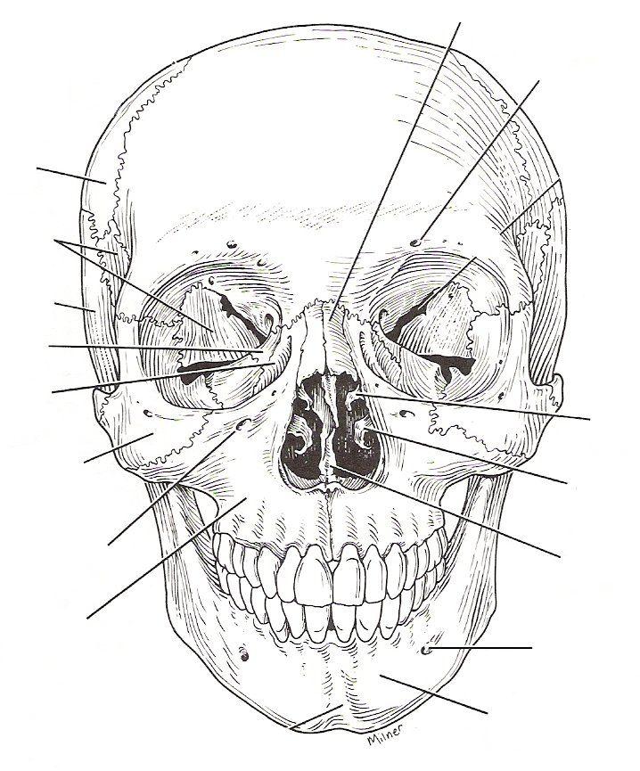 Worksheets Skull Labeling Worksheet of skull labeling worksheet sharebrowse collection sharebrowse