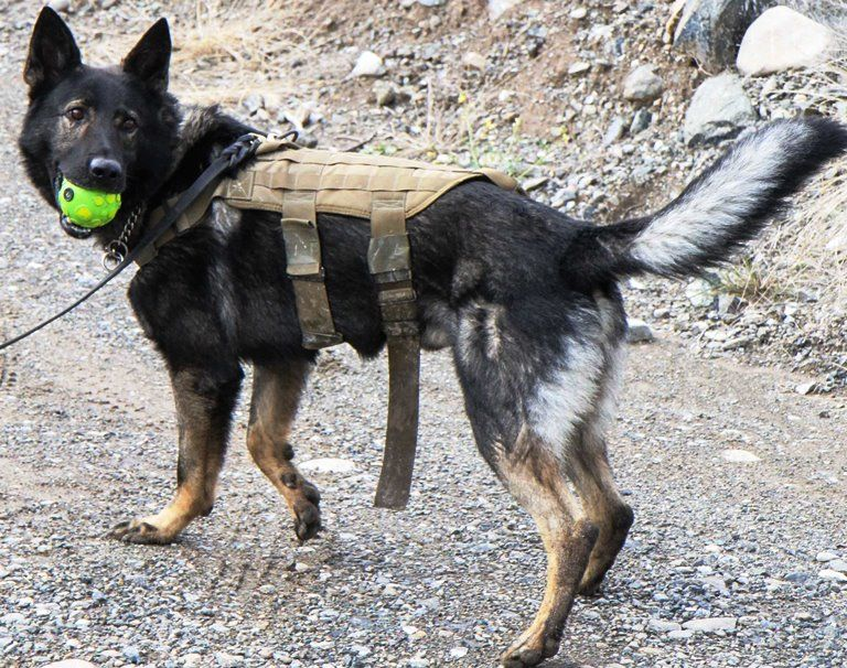 Sgt. Misa, a military working dog with the Tactical Explosive ...
