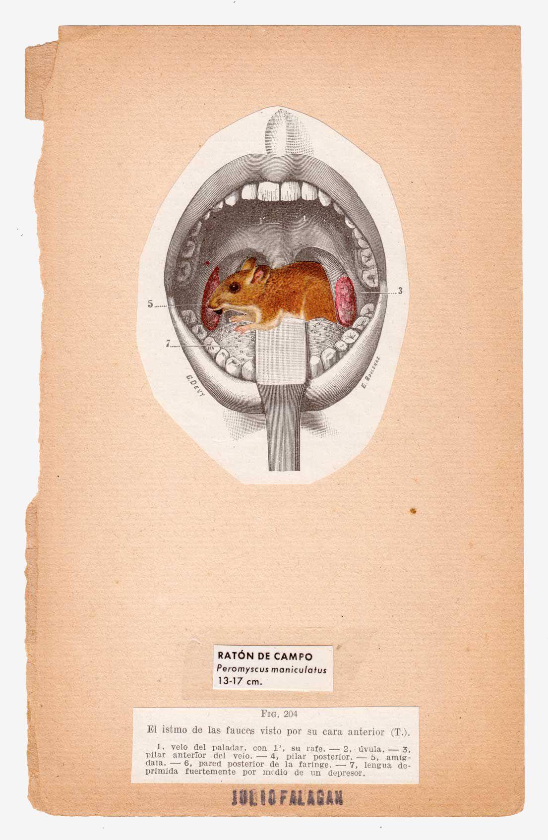 anatomia-silvestre-raton-julio-falagan | Collage | Pinterest ...