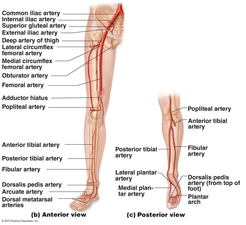 The Cardiovascular System: Blood Vessels | Nursing | Pinterest