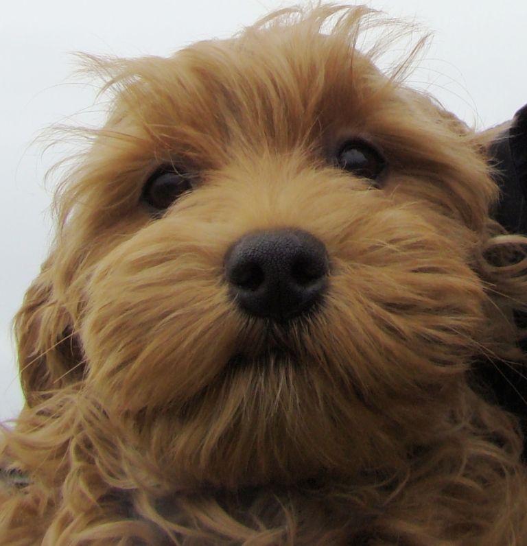 Non Shedding Dogs For Sale Ontario