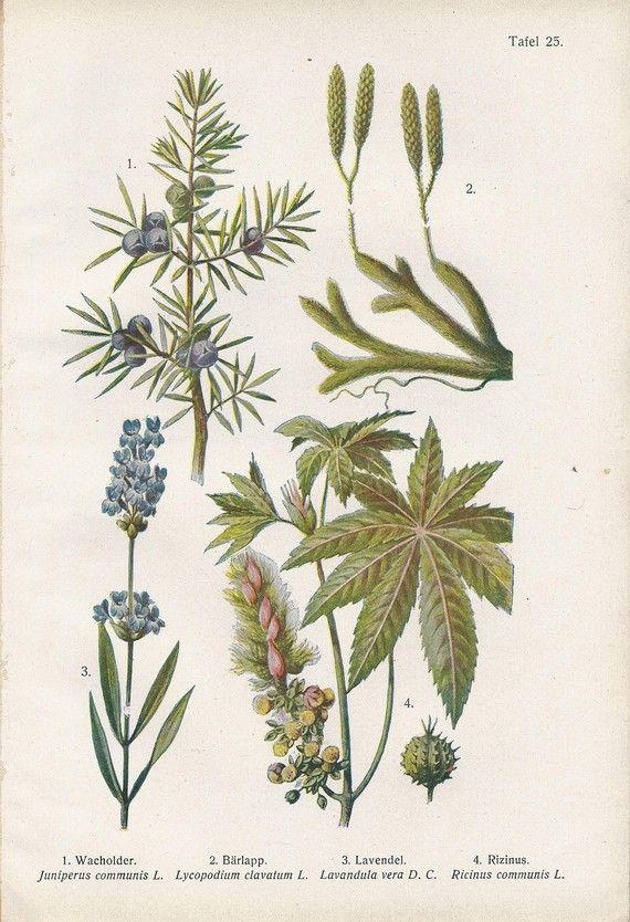 Vintage Botanical Illustration 1920s Juniper Lavender Castor Oil Plant Botanical Drawings Botanical Illustration Botanical Art