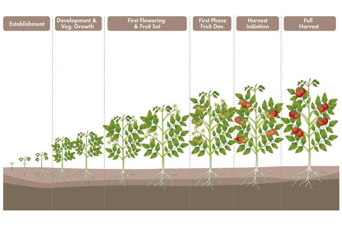 Tomate Web Eng Png 680 450 Growing Tomato Plants Plants Tomato Plants