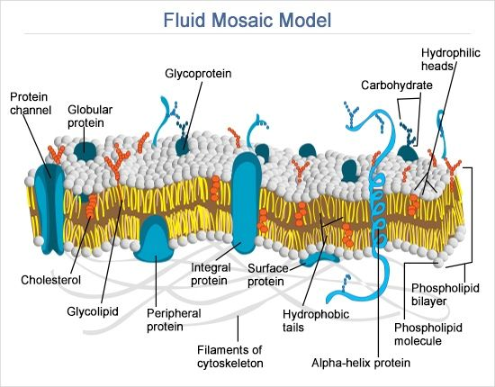 diagram of fluid mosaic model cell membrane wiring fuse symbol difference between peripheral and integral proteins