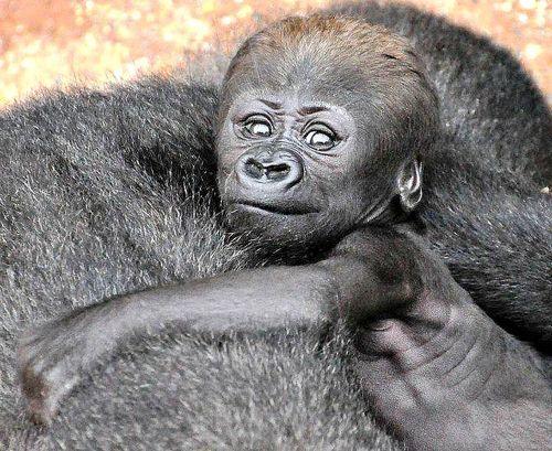 Zooborns Gorilla Baby Gorillas Cute Babies Cute Animals