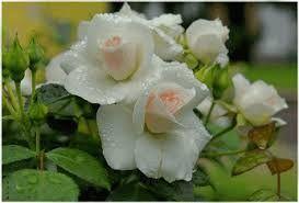 Resultado de imagem para flor rosas