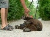 man plays with the little bear cub