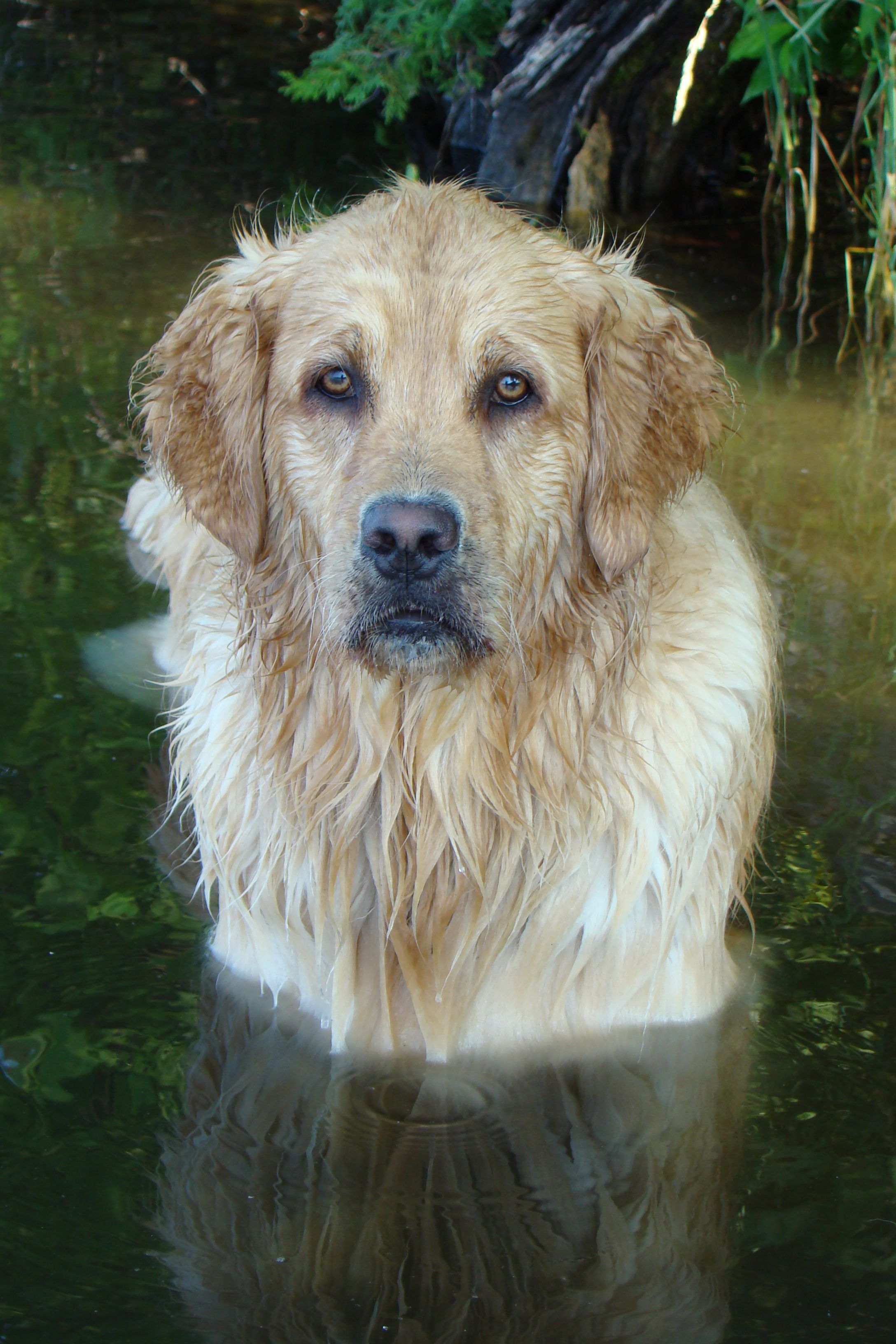 My Beautiful Brie With Her Amber Eyes Golden Retriever Mom Dogs