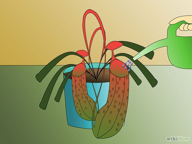 How To Grow Pitcher Plants Pitcher Plant Care Pitcher Plant Plants