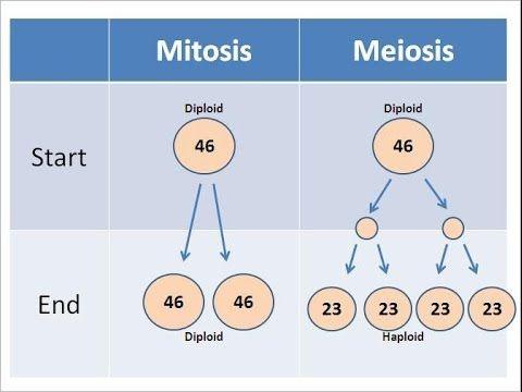 Compare contrast mitosis meiosis essay