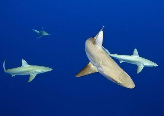 Galapagos Sharks near the surface