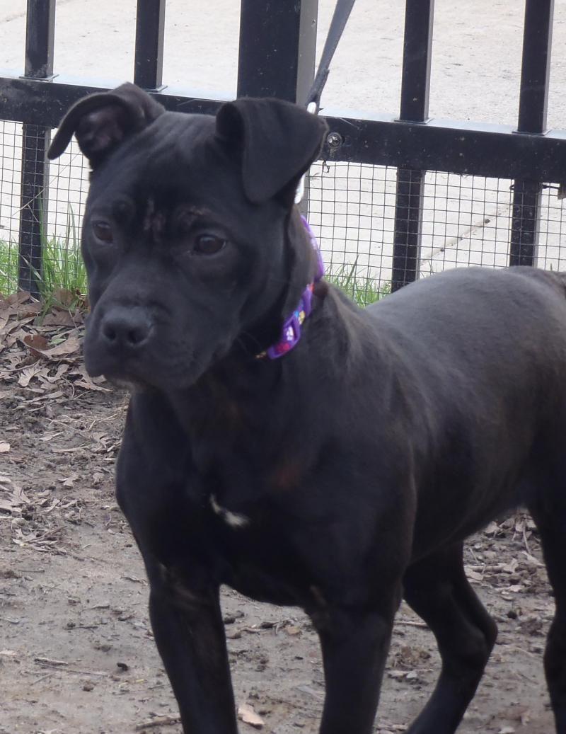 Adopt Jewel On Pitbull Terrier Bull Terrier Dog Dogs