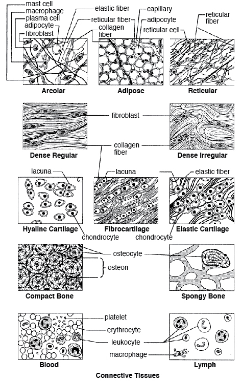 epithelial cell types quiz Google Search Body systems