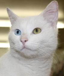 Adopt Daybreak On Petfinder Cat With Blue Eyes Pet Adoption Center Cats