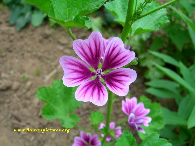 CommonMallow love these flowers gardens Pinterest Gardens