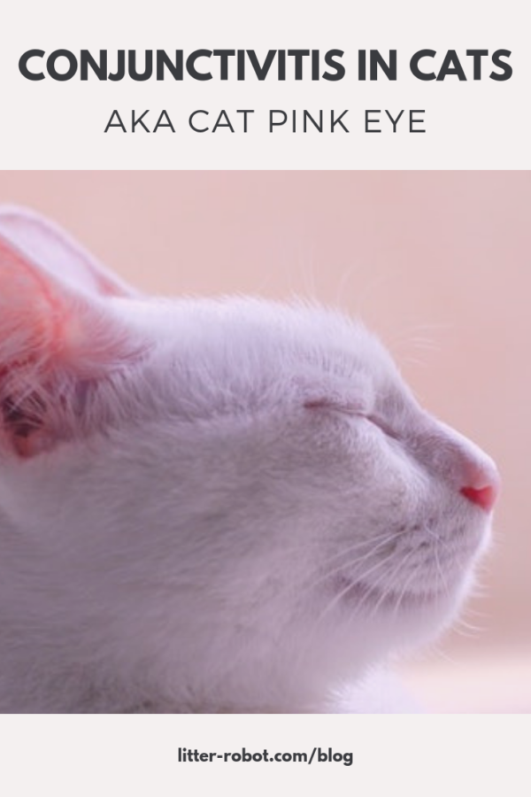 Conjunctivitis in Cats, aka Cat Pink Eye Conjunctivitis
