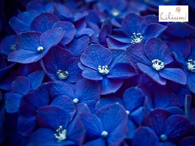 LOS MEJORES ARREGLOS FLORALES A DOMICILIO. Las Hortensias son flores nativas del sur y este de Asia y América, la mayoría de las especies, provienen de China, Japón y Corea. Esta planta produce flores de primavera hasta finales del otoño y su color depende del suelo donde crezca. En Lilium le ofrecemos la mayor variedad de diseños de arreglos florales de la mayor calidad, durante todo el año. Visite nuestra página de internet www.lilium.mx, y sorpréndase con nuestras exclusivas colecciones.