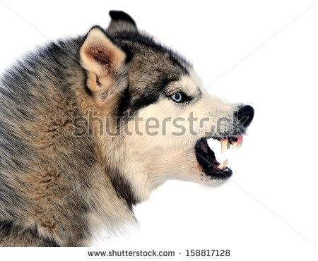 Growling Husky Dogs Angry Siberian Husky Dog Winter Portrait