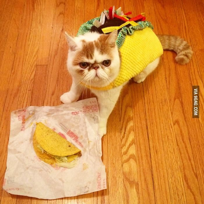 My Cat Taco Dressed As A Taco Eating A Taco From Taco