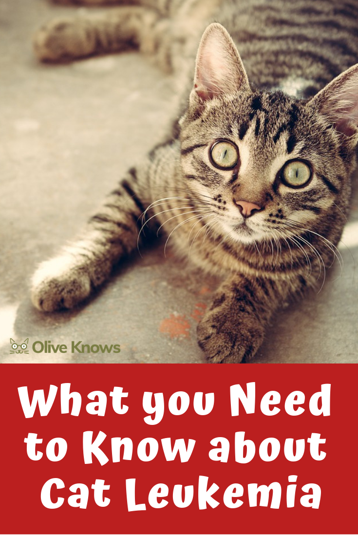 What You Need To Know About Cat Leukemia Oliveknows In 2020 Cat Illnesses Feline Leukemia Cheap Pet Insurance