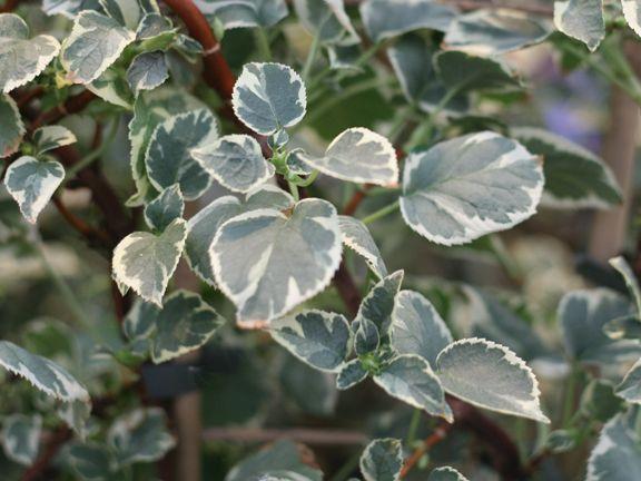 Hydrangea a. petiolaris 'Silver Lining'