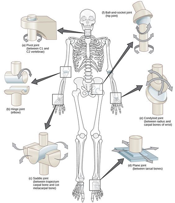 Medical Education On Twitter Human Joints Joints Anatomy Anatomy And Physiology