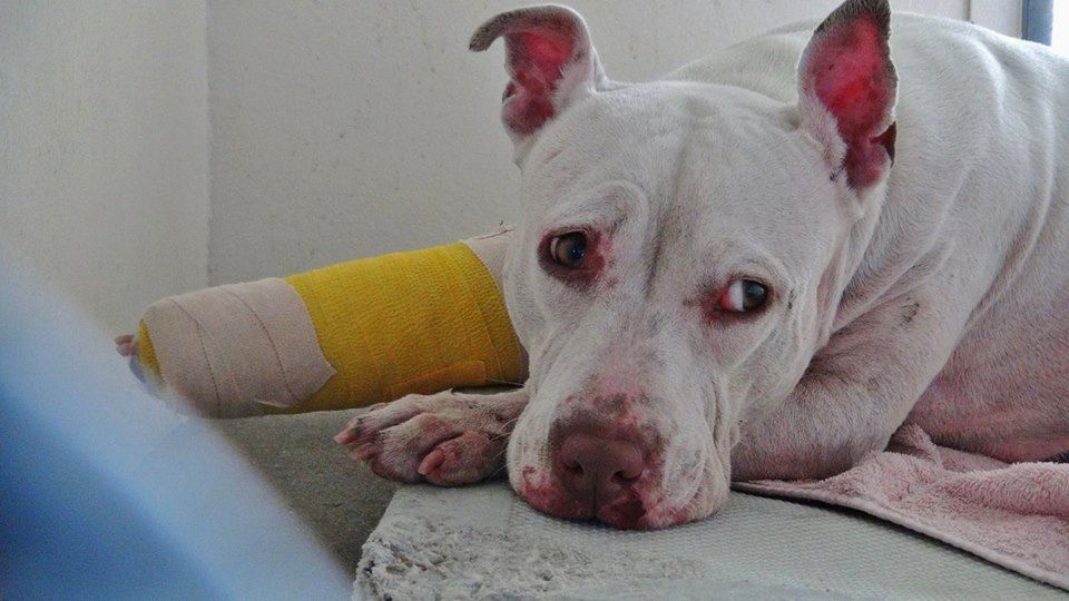 URGENT**** She is pure love and so sweet even after being treated for a leg injury. She is uncomfortable and she needs some help. Please SHARE for her life. Thanks!  #A4865718 I'm an  3 year old female pit bull.at the Carson Animal Care Center since August 11, 2015.
