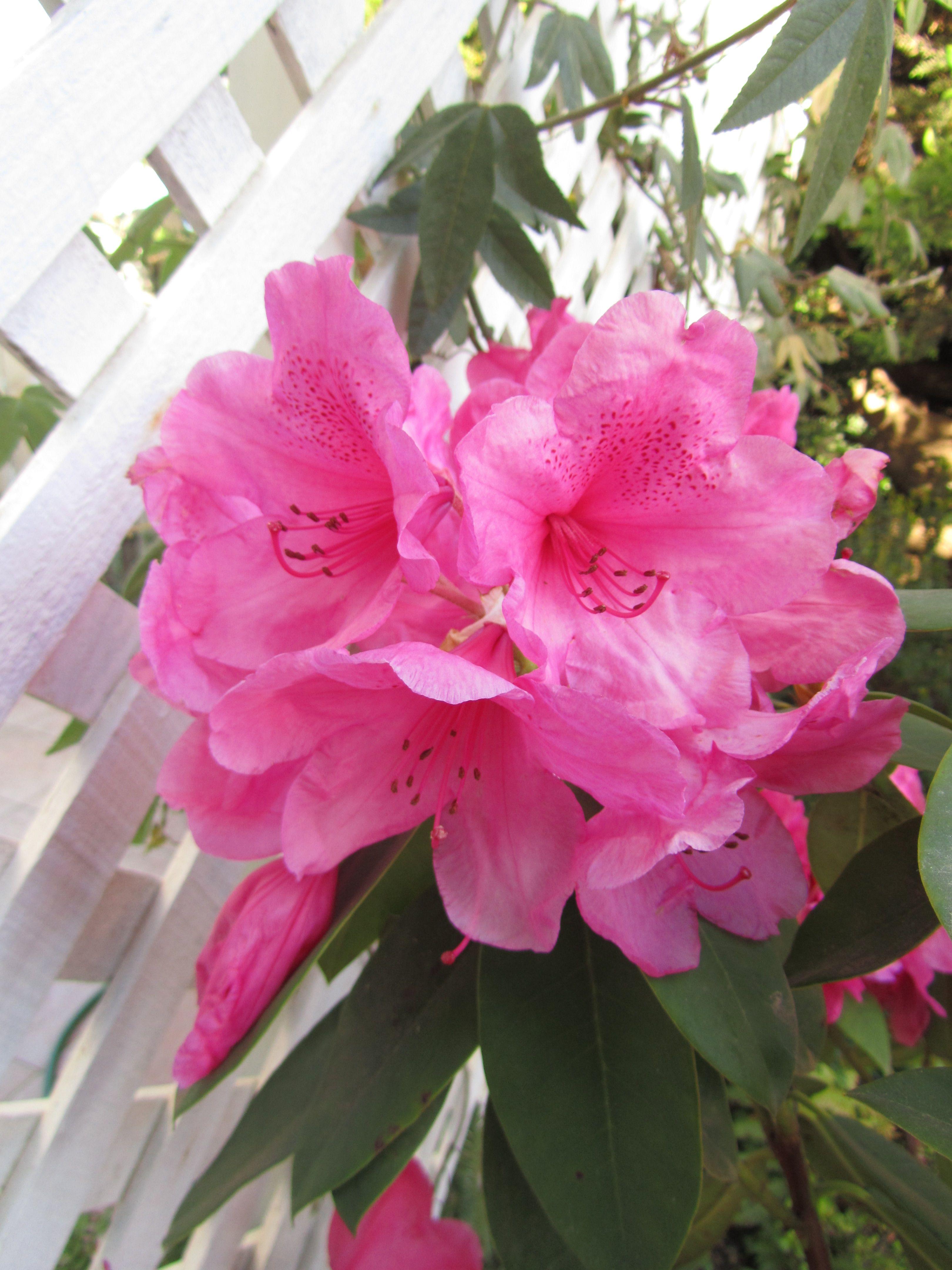 don rododendro