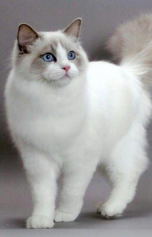 Ragdoll cat, My Tamoura was identical! :-)