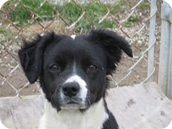 Liberty Center Oh Border Collie Boston Terrier Mix Meet Andie A Dog For Adoption Http Www Adoptapet Com Pet Border Collie Mix Border Collie Collie Mix