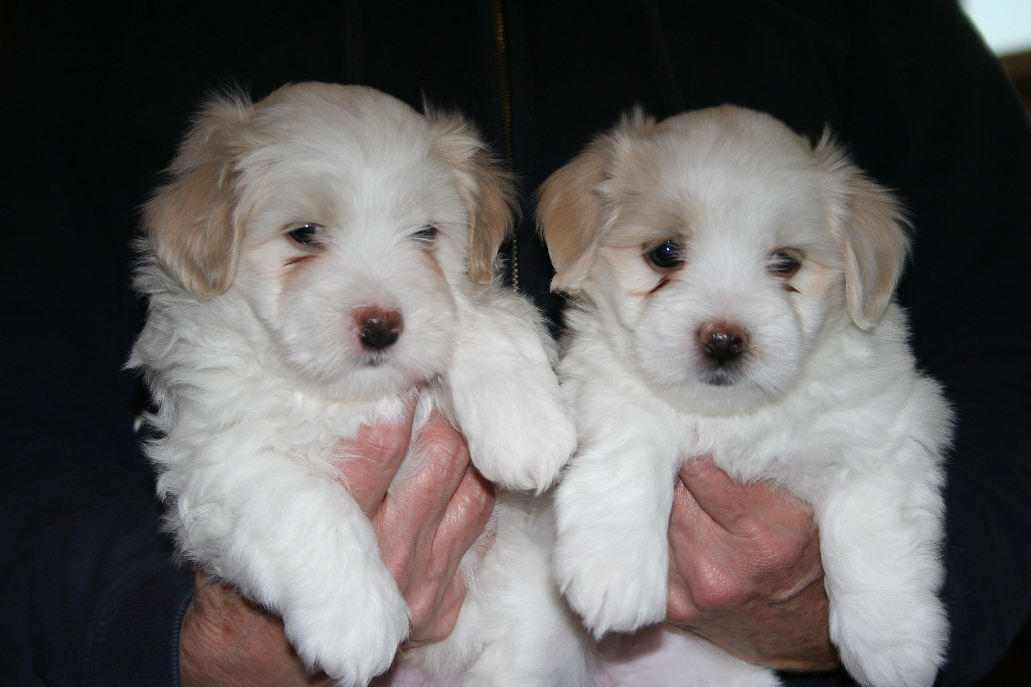 Beautiful Coton De Tulears From Country Lane Cotons In Ohio Boy