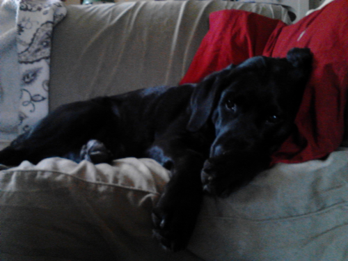 My lab Spencer lounging on a Sunday :0)