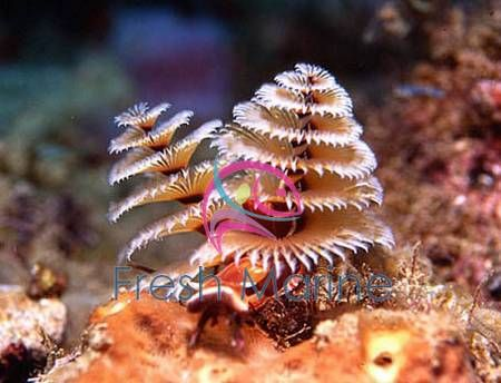 Xmas Tree Worm Rock - Spirobranchus species - Bisma Rock