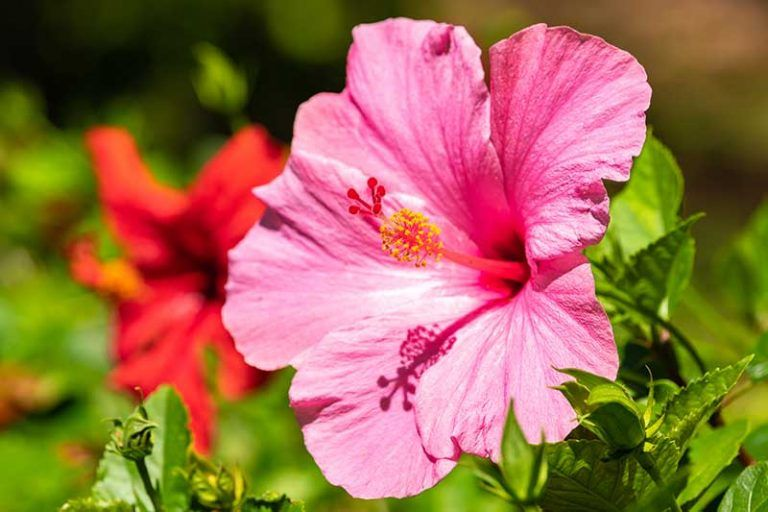 37 of the Best Hibiscus Varieties is part of Growing hibiscus, Hibiscus, Hibiscus bush, Hibiscus garden, Hibiscus rosa sinensis, Flower garden - With huge, colorful blooms there's nothing quite like hibiscus to enchant your garden  Learn about 37 of our favorite hibiscus varieties on Gardener's Path