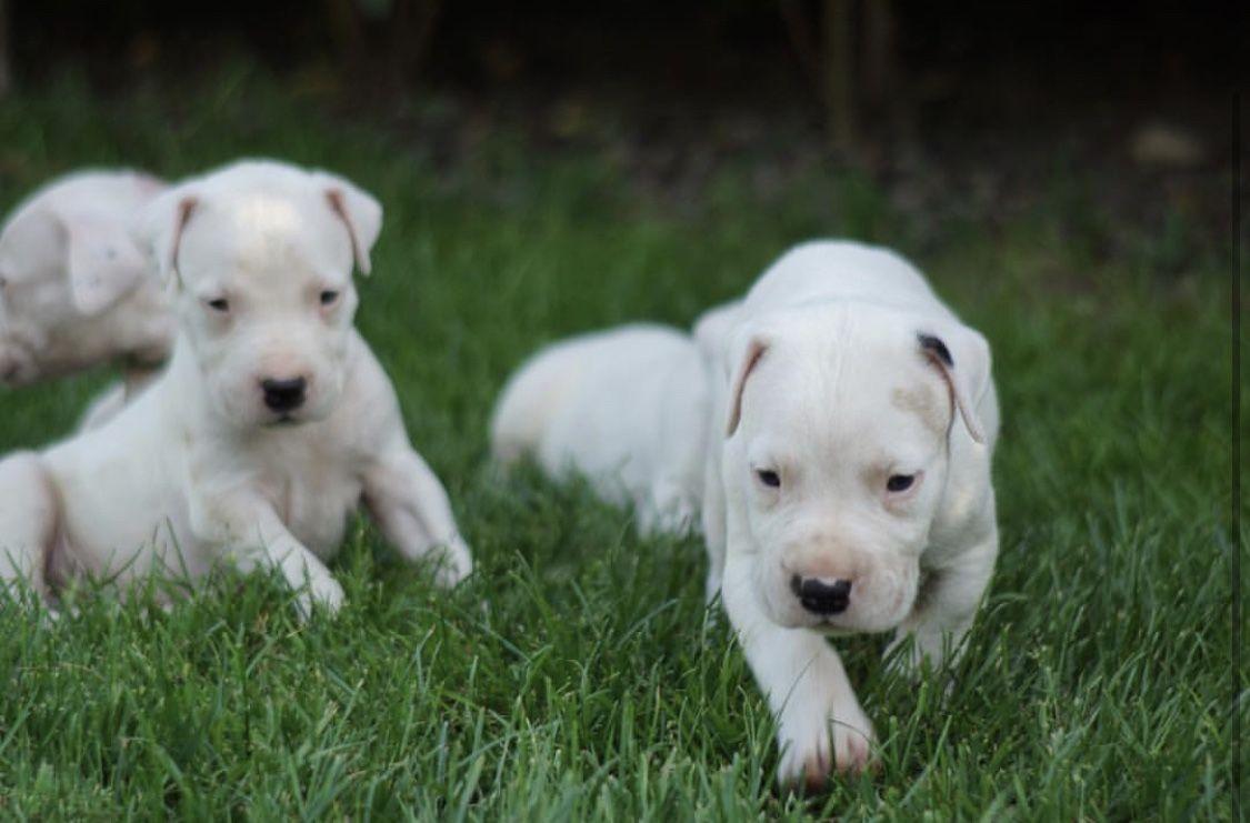 Pin By Ellis Satchell V On Dream Dog Puppies Dogo Argentino Labrador Retriever