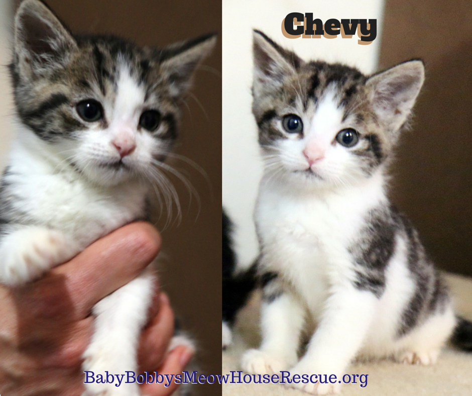 Chevy Came To Our Catrescue As A Bottlebabykitten With His Brother Rudy Both Are Looking For Furrever Homes Kitten Rescue Cat Rescue Cats And Kittens
