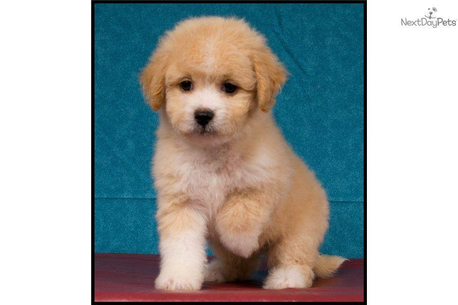 Bichpoo Puppy Www Abcpuppy Com Bich Poo Puppies Puppy Breeds