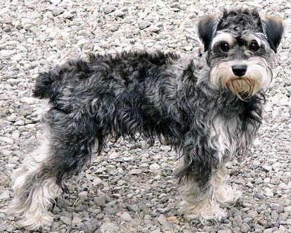 3 Schnoodles Mixed Breed Dogs Schnoodle Unique Dog Breeds