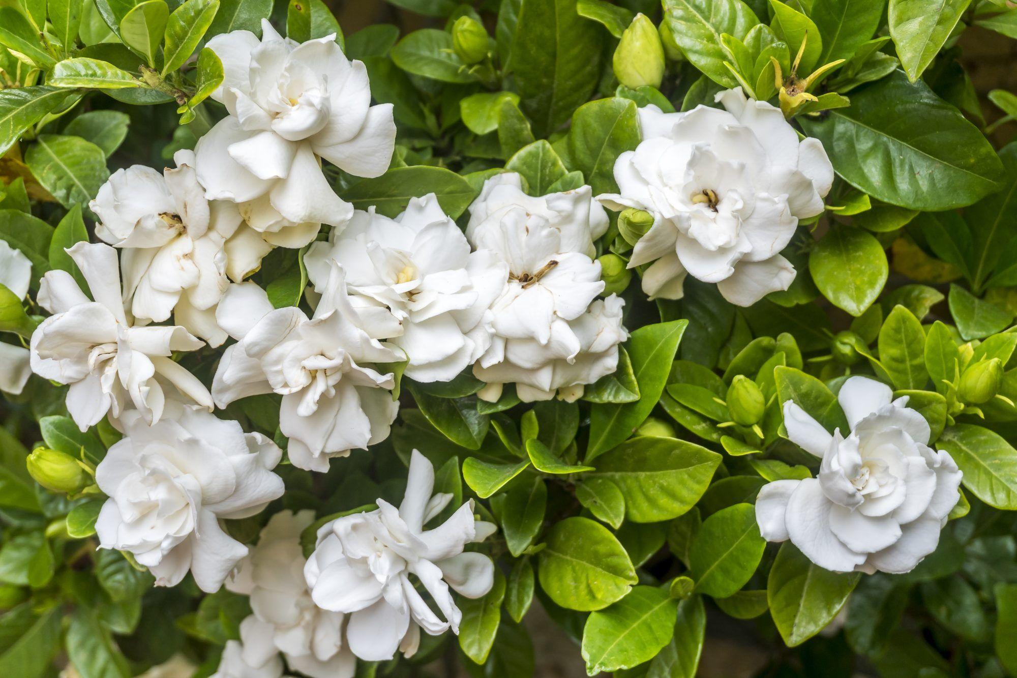 Plants You Should Always Prune In Winter Gardenia Trees