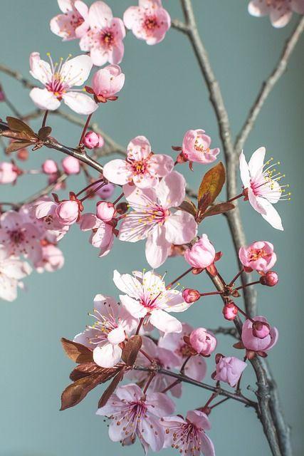 Kostenloses Bild auf Pixabay - Frühling, Blume, Natur, Kirschblüte #frühlingblumen